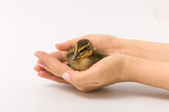 Funny duckling of a wild duck on a white background Stock Photography