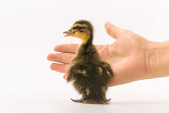 Funny duckling of a wild duck on a white background Royalty Free Stock Photos