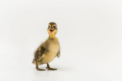 Funny duckling of a wild duck on a white background Stock Image