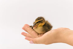 Funny duckling of a wild duck on a white background Royalty Free Stock Photography