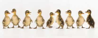 Funny duckling of a wild duck on a white background Stock Photo