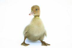 Funny ducklings Royalty Free Stock Photography