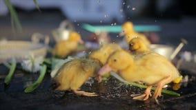 Funny ducklings under rain drops slowmotion. Cute yellow ducklings having fun under water drops stock footage