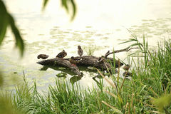 Funny ducks sitting on the log located on the river Stock Photos