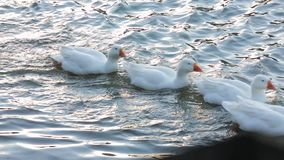 Funny Ducks Swimming In Lake In A Row. This is a shot of a group of white ducks swimming in a lake in a row with two brown ducks in front and at the end of the stock video footage