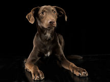 Funny ears mixed breed brown dog in black studio background Stock Images