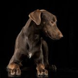 Funny ears mixed breed brown dog lying in a black studio backgroun Stock Photography