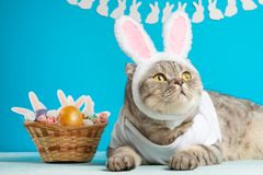 Funny Easter Bunny cat, cute with ears and Easter eggs. Easter background and composition royalty free stock photo