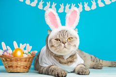 Funny Easter Bunny cat, cute with ears and Easter eggs. Easter background and composition stock image