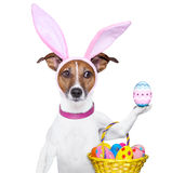 Funny easter dog. Dog dressed up as bunny with easter basket Stock Photo