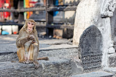 Free Funny Eating Monkey In Monkey Temple Royalty Free Stock Photos - 14253328