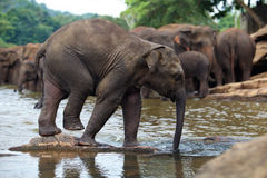 Funny elephant baby in water. Pinnawala, Sri Lanka stock photography