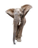 Funny Elephant Isolated Ears Flying Royalty Free Stock Photos