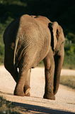 Funny Elephant picture Royalty Free Stock Photos