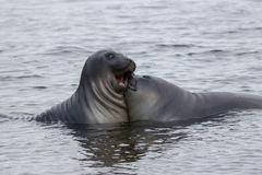 Funny elephant seals Royalty Free Stock Images