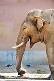 Funny elephant in a zoo Stock Photo