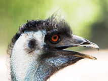 Funny emu royalty free stock images