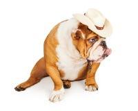 Funny English Bulldog Cowboy Stock Photos