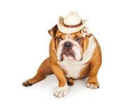 Funny English Bulldog Cowboy Stock Images
