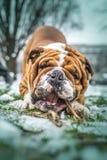 Portrait of big English bulldog Royalty Free Stock Photo