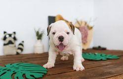 Funny english bulldog puppy stand on a wooden table at home. Closeup portrait royalty free stock images