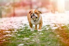 Portrait of big English bulldog Stock Photos