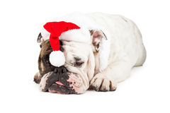 Funny English Bulldog Santa Royalty Free Stock Photo