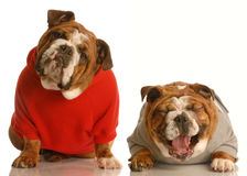 Funny english bulldogs Royalty Free Stock Image