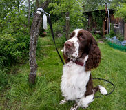 Funny english springer spaniel sitting on green grass in summer Stock Photos