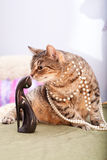 Funny european cat. Young female of an european cat wearing necklace Royalty Free Stock Photo
