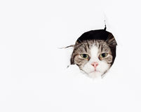 Funny european cat. Putting his head in a hole in a paper sheet Royalty Free Stock Images