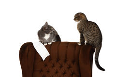 Funny european cat. On the chair stock photography