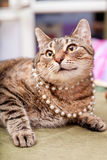 Funny european cat wearing necklace. Funny female of an european cat wearing necklace Royalty Free Stock Photos