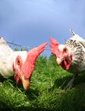 Funny exciting hens Stock Photos