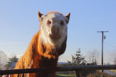 Funny Expression on Horse Stock Image