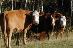Funny Expression Of Cows Stock Photography