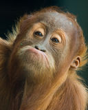Funny Face. Cheeky young orangutan making a funny face stock photos