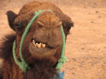 Funny face. Angry camel, Morocco Royalty Free Stock Image