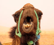 Funny face. Angry camel, Morocco Royalty Free Stock Photos