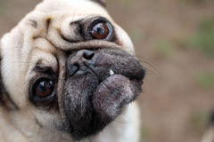 Funny Face. Pug staring at the camera and making a funny face Royalty Free Stock Photos