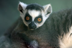 Funny Face. A baby Rintailed Lemur staring at the camera with a shocked look Royalty Free Stock Images