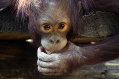 Funny Face. Closeup of a baby Orangutan making a funny face Royalty Free Stock Images