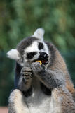 Funny face, animal, Lemur Royalty Free Stock Image