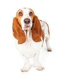 Funny Face Basset Hound Stock Photo
