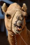 Funny face camel head in front of a dark background. Chewing Stock Image