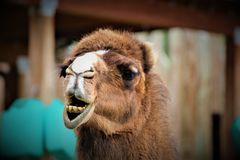 Funny Face Camel. A camel making funny faces at the camera Royalty Free Stock Photo