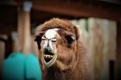Funny Face Camel. A camel making funny faces at the camera Stock Images