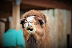 Funny Face Camel. A camel making funny faces at the camera Stock Photography