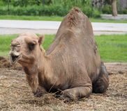 A funny face camel. A funny face camel in the zoo. Bangkok,Thailand Stock Image