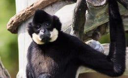 Funny face. Close-up of monkey at Denver zoo royalty free stock photos
